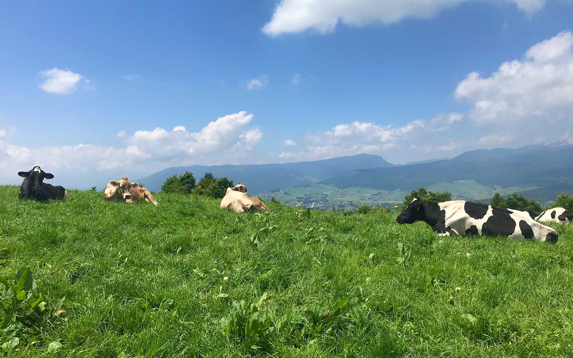 Asiago Guide mucche